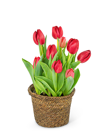 Potted Tulip Plant