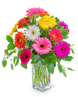 One Dozen Dashing Gerbera