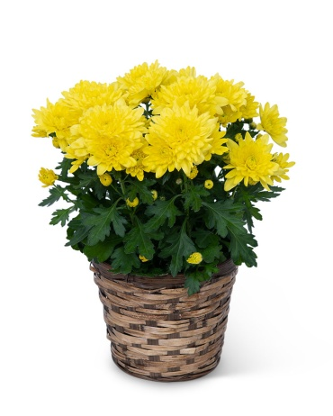 Yellow Chrysanthemum Plant