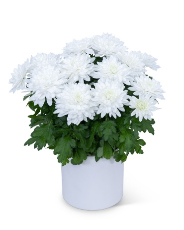 White Chrysanthemum Plant