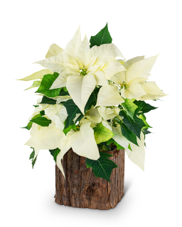 Natural White Poinsettia Plant