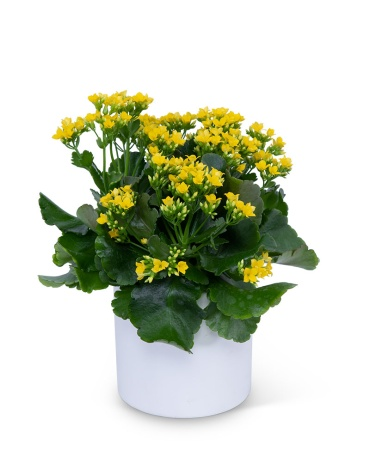 Yellow Kalanchoe Plant